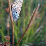 Modraszek ikar - samica