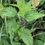 Rusalka kratkowiec - samica