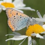 Czerwończyk nieparek (Lycaena dispar) - samica