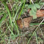 Poproch pylinkowiak -samiec