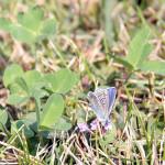 Modraszek ikar - samiec