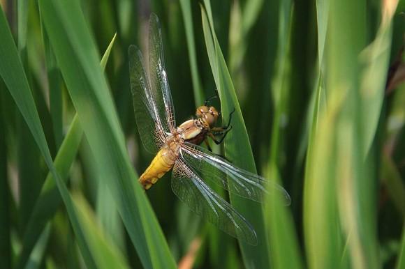 Ważka płaskobrzucha - samica