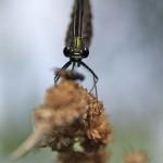 Świtezianka dziewica - samica