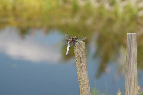 Ważka płaskobrzucha - samiec