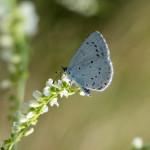 Modraszek wieszczek - samiec