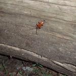 Zmorsznik czerwony - samica