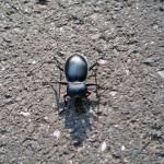Biegacz gładki (Carabus glabratus)