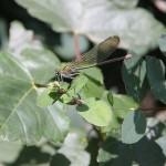 Świtezianka błyszcząca, Calopteryx splendens
