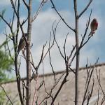 Makolągwa zwyczajna (Linaria cannabina) - parka