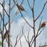 Makolągwa zwyczajna (Linaria cannabina) - parka i wróbel na górze
