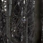 Raniuszek zwyczajny (Aegithalos caudatus)