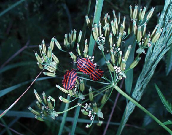 Strojnica baldaszkówka (Graphosoma lineatum)
