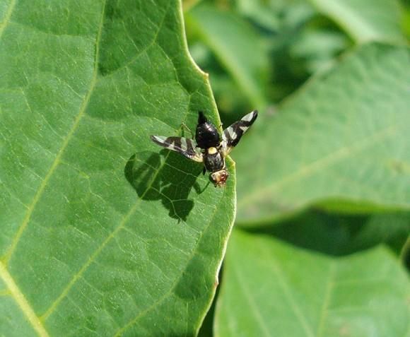 Nasionnica trześniówka, Rhagoletis cerasi, muchówka, owady