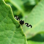 Nasionnica trześniówka (Rhagoletis cerasi)