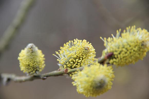 Wierzba iwa (Salix caprea)
