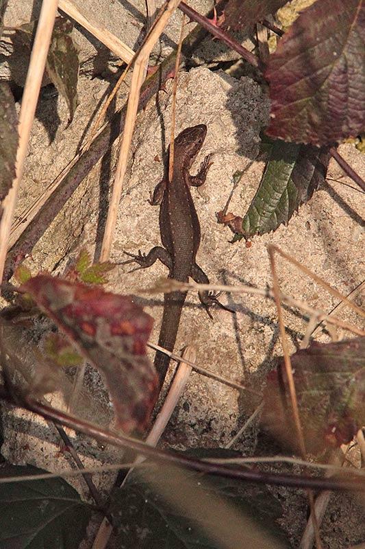 Jaszczurka żyworodna (Zootoca vivipara), żyworódka