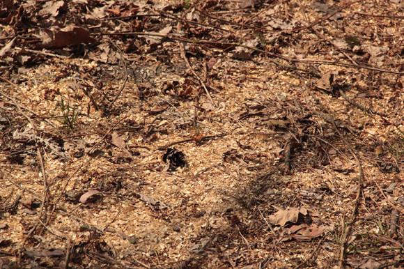 Rusałka kratkowiec (Araschnia levana) na drodze