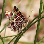Rusałka kratkowiec (Araschnia levana) samiec