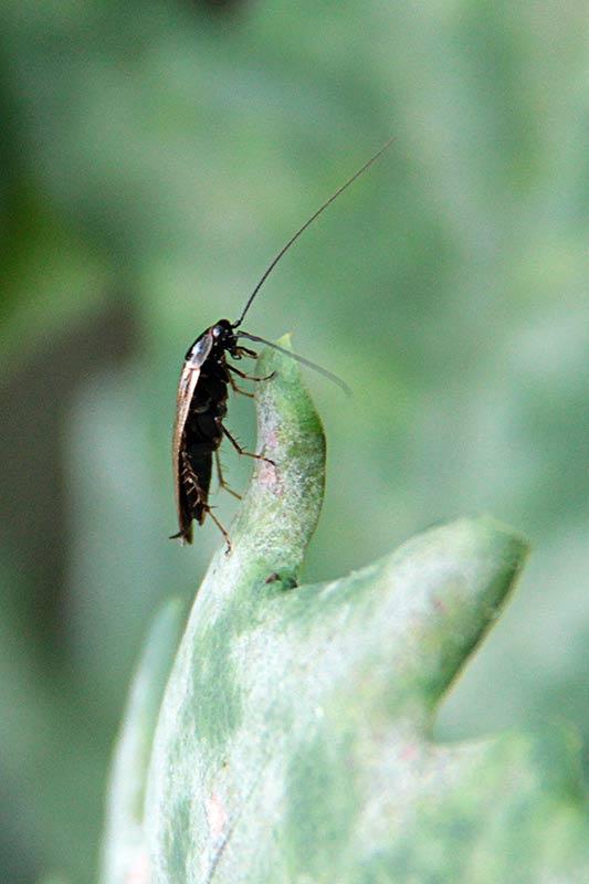 Zadomka leśna (Ectobius sylvestris)