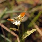 Zorzynek rzeżuchowiec (Anthocharis cardamines) samiec