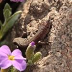 jaszczurka z odrastającym ogonem
