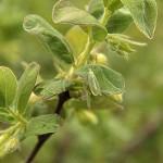 Złotook (Chrysopidae)