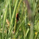 Cantharis fusca - Omomiłek szary -  Cantharidae