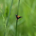 Cantharis pellucida - Omomiłek - Cantharidae