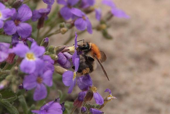 trzmiel z zebranym pyłkiem