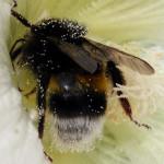 trzmiel w pyłku malwy