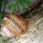 Ślimak winniczek (Helix pomatia) - ślimakowate