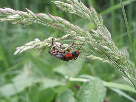 Cantharis rustica - Omomiłek, Cantharidae