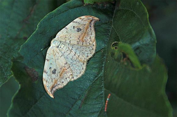 Wycinka sierpianka (Drepana falcataria)