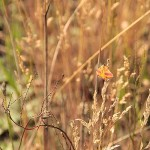 Sudamek szczawiak (Lythria cruentaria)
