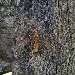 Koziułkowate,-komarnice-(Tipulidae)1