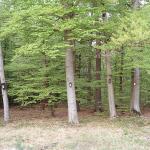 Bukowy las, maj