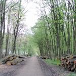 Bukowy las w kwietniu