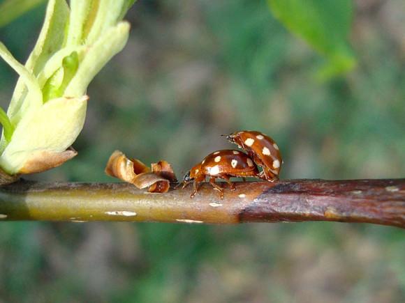 Gielas czternastoplamek, biedronka czternastokropka (Calvia quatuordecimguttata)