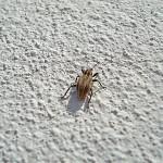 Hypera arator, Owady, chrząszcze, ryjkowcowate
