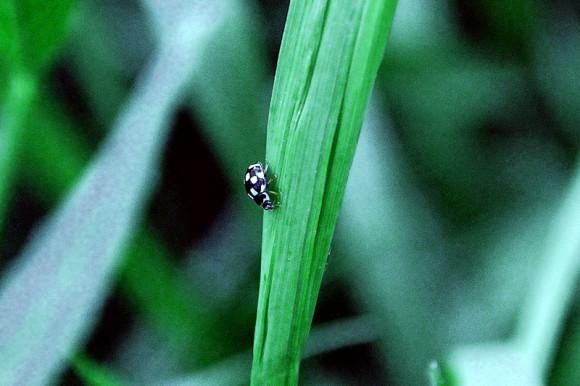 wrzeciążka (Propylea quatuordecimpunctata)