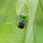 Ogrodnica niszczylistka (Phyllopertha horticola)
