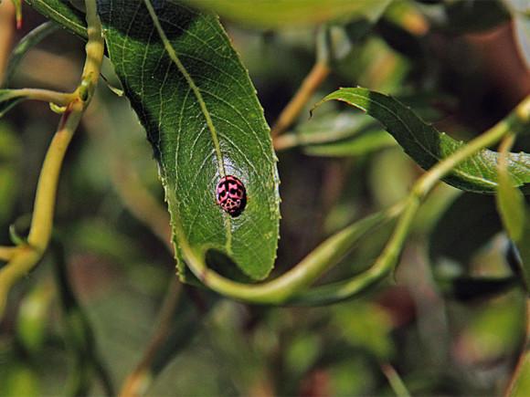 Biedronka Oenopia conglobata