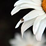 wrzeciążka, Propylea quatuordecimpunctata