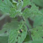 Tarczyk (Cassida) - larwa