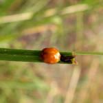 Gielas dziesięcioplamek (Calvia decemguttata) - prawdopodobnie