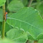 Oberea oculata - Dłużynka dwukropkowa
