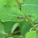 Oberea-oculata-–-Dłużynka-dwukropkowa-IMG_2087_sm