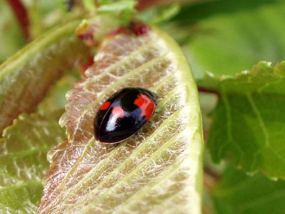 Biedronka dwukropka (Adalia bipunctata) - czarna odmiana