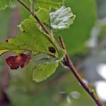 Biedronka łąkowa (Coccinula quatuordecimpustulata)