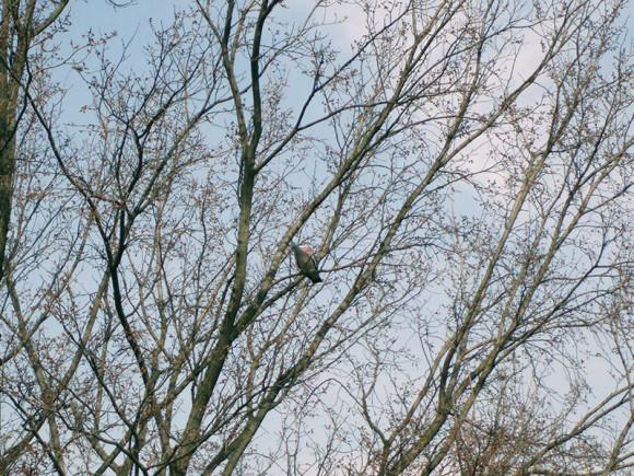 gołąb grzywacz (Columba palumbus)